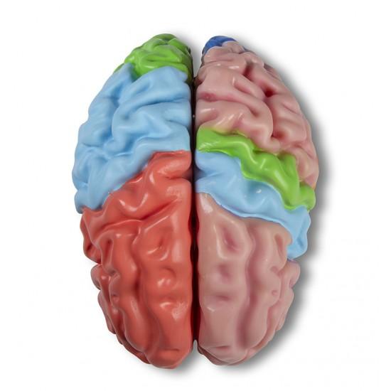 Анатомичен модел на мозък, 5 части