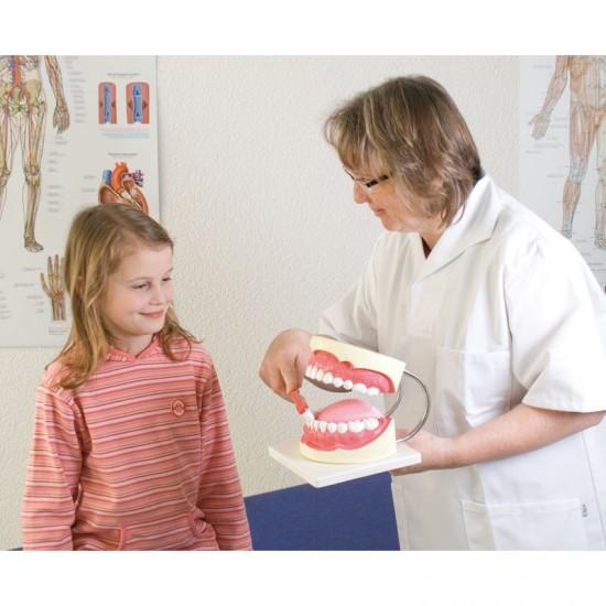 Анатомичен модел - Хигиена на зъбите