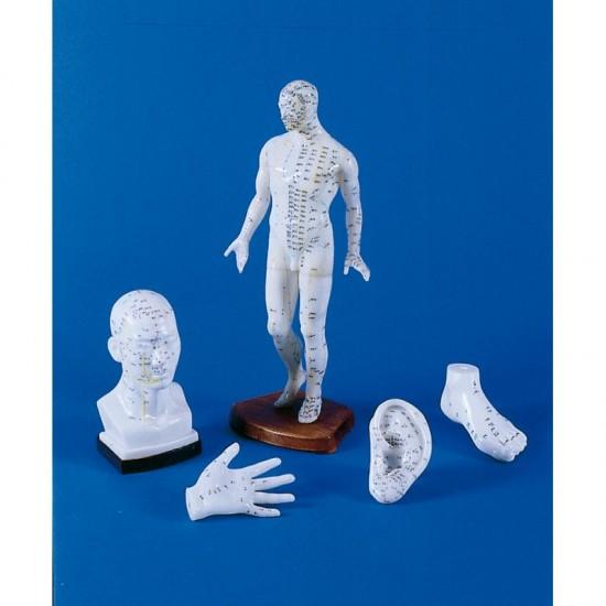 Анатомичен модел -  китайска акупунктура