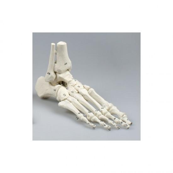 Анатомичен модел - костна структура на стъпало