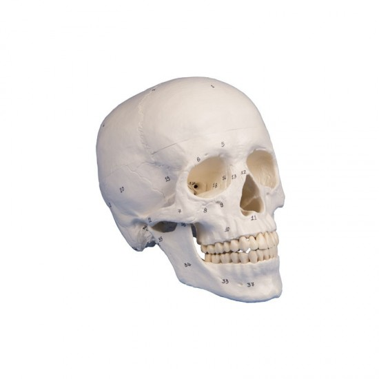 Анатомичен модел на череп, 3 части