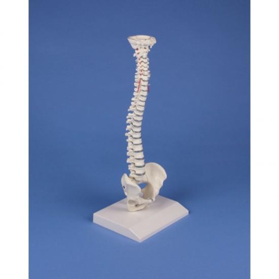 Анатомичен модел на гръбначен стълб