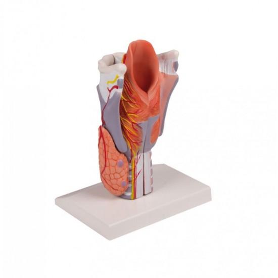 Анатомичен модел на ларинкс, 5 части