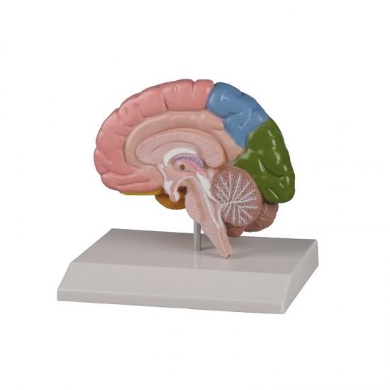 Анатомичен модел на мозък