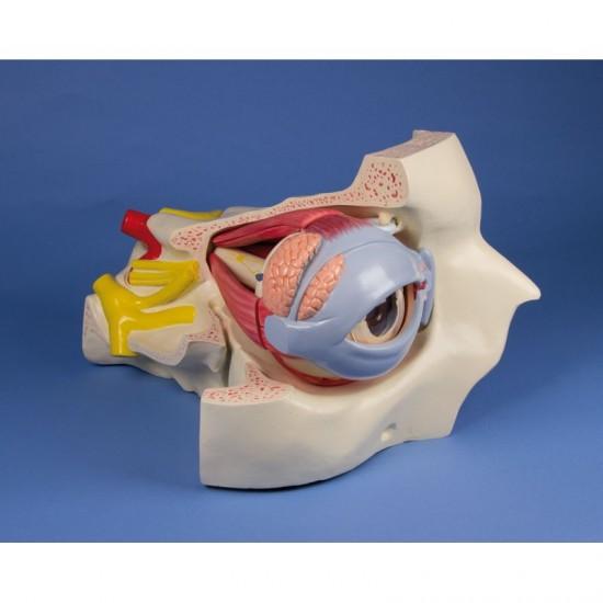 Анатомичен модел на око, 15 части