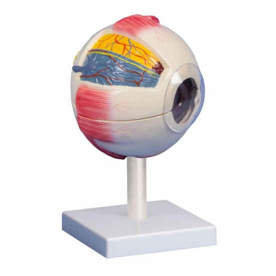Анатомичен модел на око, 6 части