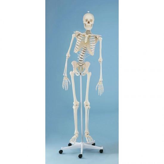 Анатомичен модел на скелет ХУГО