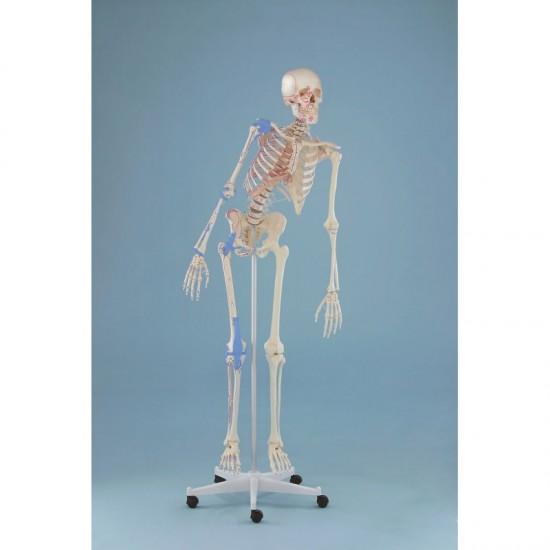 Анатомичен модел на скелет МАХ