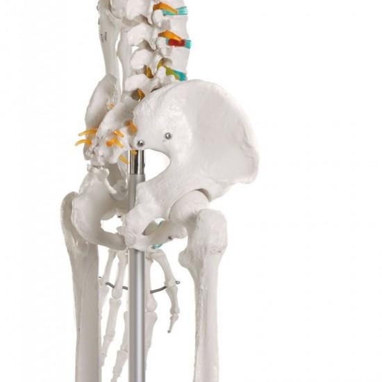 Анатомичен модел на скелет ОСКАР