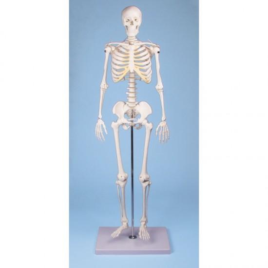 Анатомичен модел на скелет ТОМ