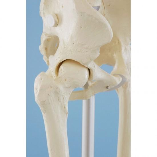 Анатомичен модел на скелет УИЛИ