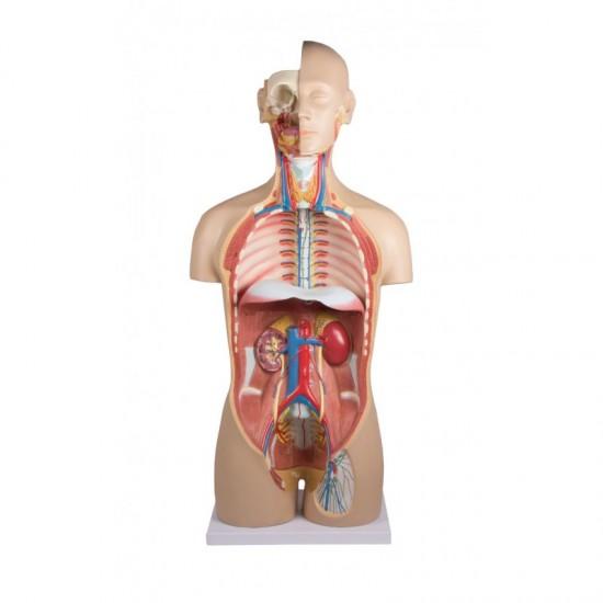 Анатомичен модел на торс, с вътрешни органи и анатомични структури