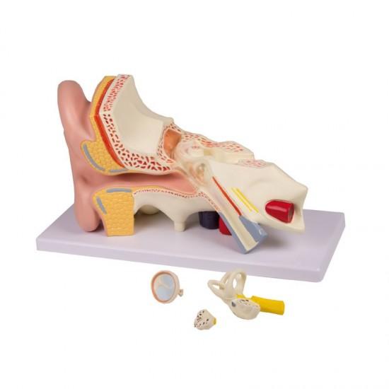 Анатомичен модел на ухо, 4 части