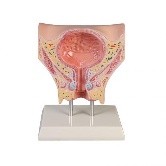 Анатомичен модел на женски пикочен мехур