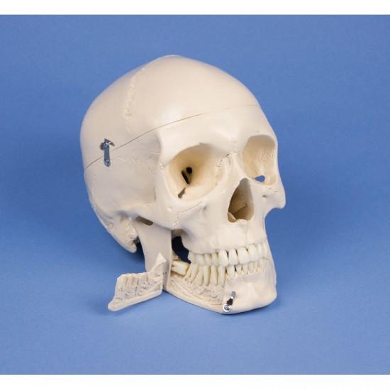 Дентален анатомичен модел на череп, 4 части
